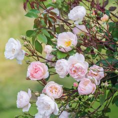 A healthy and floriferous rose, bearing sprays of pretty flowers. Buy The Lady of the Lake from David Austin with a 5 year guarantee and expert aftercare. Beautiful Roses, Pretty Flowers, Beautiful Gardens, Pink Flowers, Roses David Austin, David Austin Rosen, Rose Foto, Antique Roses, English Roses