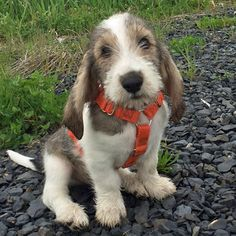 Sebastian the Grand Basset Griffon Vendeen ~ ADORABLE OR WHAT? ~