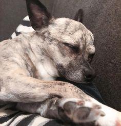 Seems that it's  b e d t i m e .... #lolathedesignerdog #chihuahua #chihuahuasofinstagram #chihuahualife #torontolife #torontodogs #instalike #instago #sleepydog #sleepy #instadog #dogsofinstgram #dogsofinstaworld #wednesday #instaday #instalike #instastyle #dogs #mypetSeems that it's  b e d t i m e .... #eeid #lolathedesignerdog #chihuahua #chihuahuasofinstagram #chihuahualife #torontolife #torontodogs #instalike #instago #sleepydog #sleepy #instadog #dogsofinstgram #dogsofinstaworld… Sleepy Dogs, Toronto Life, Chihuahua, Insta Like, Wednesday, Instagram, Chihuahuas