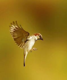 Sparrow in flight artists edit Canon 7D | Flickr - Photo Sharing!