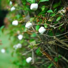 April Fools Marshmallow Picking