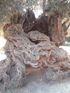 Elsas blogg om litt av hvert...: Verdens eldste oliventre Elsa, Om, Olives