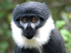 The Dryas monkey, also known as Salonga monkey or ntolu, is a little-known species of guenon found only in the Congo Basin, restricted to the left bank of the Congo River.