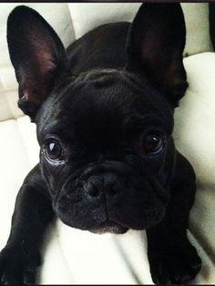 Cora the french bulldog! #frenchbulldog #frenchie @corathefrenchie #batpig
