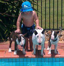 Miniature Bull Terrier Breeders Famoso Kennels Australia Bull