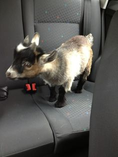 goat in the back seat