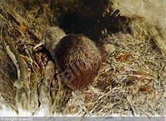 Kiwi chick - Raymond Ching