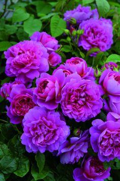 Princess Anne, English rose