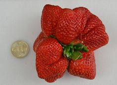 Guiness Book of Records-winning strawberry grown in Fukuoka, Japan - evidence of post-radiation fasciation?