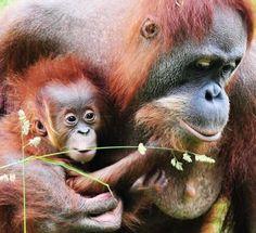 birth video of an orangutan.
