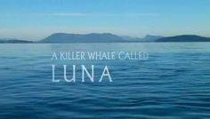 A Killer Whale Called Luna - just watched this. Amazing and very sad. Have tissues ready!