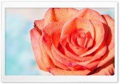 Summer Rose HD Wide Wallpaper for Widescreen