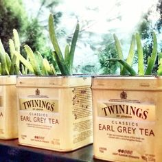 AloeVera in tea tins