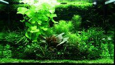 Layout 98 - Adrie Baumann - Tropica Aquarium Plants