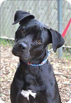 Delaware, OH - Boxer/Labrador Retriever Mix. Meet Bear a Dog for ...