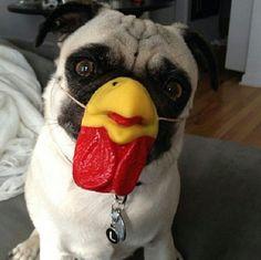 The rare Pug-Chicken hybrid...  #pug