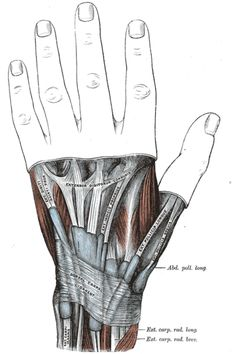 Trigger thumb of knappende duim: ziekte van De Quervain Skeleton Muscles, Muscular System Anatomy, Hand Anatomy, Human Anatomy And Physiology, Mind Body Soul, Muscle Mass, Human Body, Grey, Texting