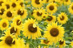 Die Sonnenblume ist vermutlich DIE Sommerblume schlechthin. Nicht nur das ihre Blüten aussehen wie kleine Sonnen, sie sind nebenbei auch als Nutzpflanzen von großer Bedeutung,