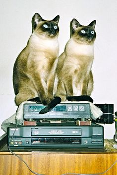 """We are Siamese if you please... we are Siamese if you don't please..."""