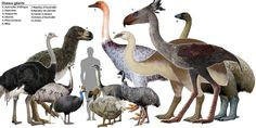 Prehistoric giant flightless bird | Image linked from: http://getouterspace.tumblr.com/post/25857819106 ...