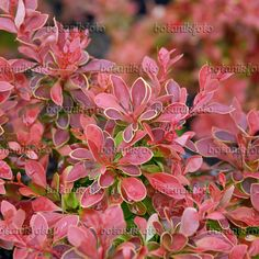 Purple leaf barberry (Berberis thunbergii 'Admiration')