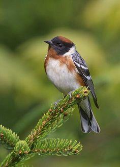 Reinita castaña (Setophaga castanea) - Suele criar en América del Norte y pasar el invierno en Centro y Sudamérica.