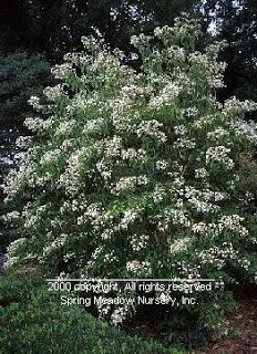 The Plant Hunter: Heptacodium - A plant with a bright future!