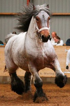 "Bay roan Brabant stallion ""Rufus"""