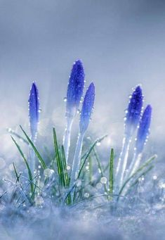 spring flowers fight their way up through the snow (beautiful flowers garden god) Flowers Nature, Exotic Flowers, Amazing Flowers, Spring Flowers, Blue Flowers, Beautiful Flowers, Beautiful Beautiful, Orquideas Cymbidium, Beautiful Nature Wallpaper