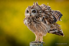 Coruja-do-nabal | Short-eared owl | Asio flammeus
