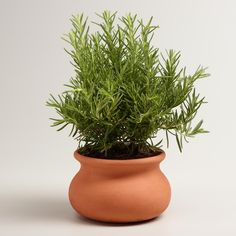 Enjoy fresh rosemary for cooking and baking any time with your own living rosemary tree. Its iconic herbal aroma freshens the air and its terracotta wash pot-inspired container adds a warm, Mediterranean vibe. Shower Hostess Gifts, Rosemary Herb, Jasmine Plant, Creating Positive Energy, Lucky Bamboo, Best Indoor Plants, Faux Succulents, Terracotta Pots, Houseplants