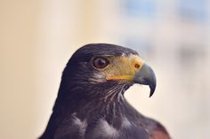 All types of eagle birds in the world with amazing facts. Eagles are some of the largest birds. They are at the top of the food chain, with some species feeding on big prey like monkeys and sloths. Types Of Eagles, Bird Kite, Bear Hunting, Eagle Bird, Free High Resolution Photos, Black Eagle, Hunting Accessories, Bird Pictures, Birds Of Prey