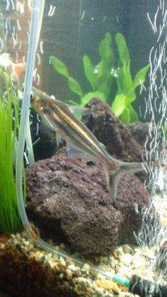 pangasius catfish(shark)