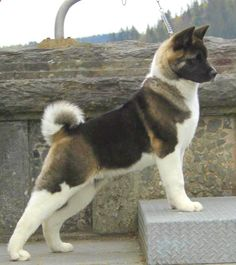 Akita... kinda looks like my Trinity :)