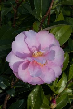 Camellia 'Mignonne' (sasanqua), a soft pink, free flowering variety. All About Plants, Florida Landscaping, Beautiful Flowers, Autumn, Sweet, Pink, Beauty, Flowers, Candy