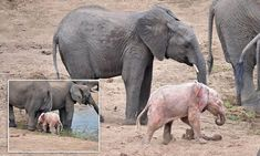 Baby albino elephant spotted in heard in South Africa