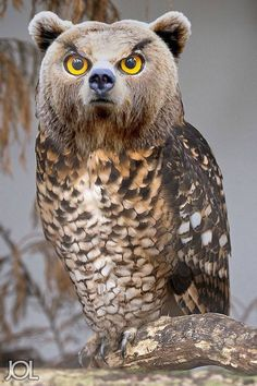Bearowl! haha