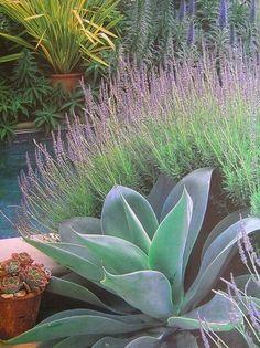 Agave attenuata and lavender - phormium in pot, echium, succulents