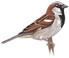 House Sparrow - Passer domesticus - Guide to North American Birds House Sparrow, Sparrow Bird, Tropical Birds, Colorful Birds, Bird Drawings, Animal Drawings, Sparrow Drawing, Bird Guides, Bird Sketch