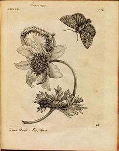 Más tamaños   Erucarum ortus - Maria Sibylla Merian 3   Flickr: ¡Intercambio de fotos!