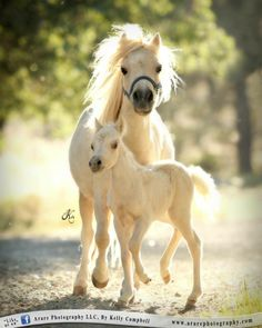 Cute fluffy miniature horses, the baby is adorable!
