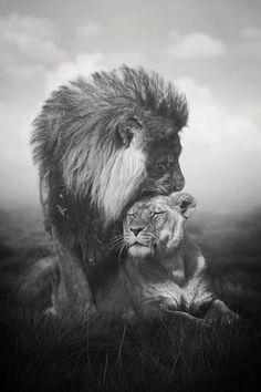 La lionne et son lion