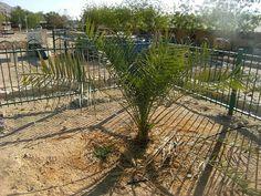 ESTADO DE ISRAEL: Milagro en Israel: Un árbol Bíblico extinto, volvi...