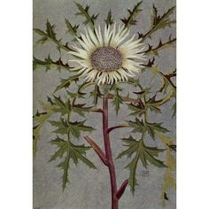 Alpine Flora 1911 Carlina Acaulis Canvas Art - Philippe Robert (18 x 24)