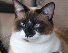 snowshoe cat - love the markings and the blue eyes