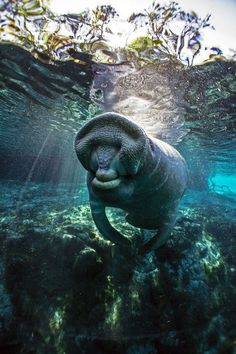 Manatee 3 Photo by Tobias Frei -- National Geographic Your Shot