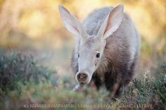 """""""The diurnal sighting of an aardvark is a rare sight indeed."""" East African Wildlife; www.bradtguides.com"""