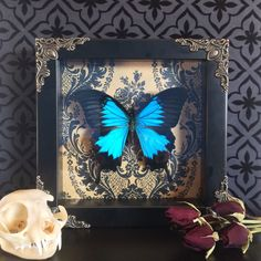 Victorian Blue Swallowtail Butterfly Shadow Box, Framed Butterfly, Taxidermy, Preserved Butterfly, Victorian, Memento Mori, Gothic Decor, by beyondthedarkveil on Etsy https://www.etsy.com/listing/478937853/victorian-blue-swallowtail-butterfly