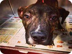 Atlanta, GA - American Pit Bull Terrier. Meet COPERNICUS, a dog for adoption. http://www.adoptapet.com/pet/11179267-atlanta-georgia-american-pit-bull-terrier
