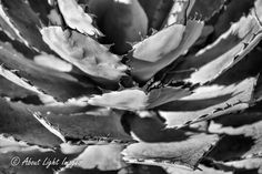 Southwest Photography Collection - About Light Images- Agave Plant Macro Image